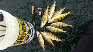 Wil's Five Tip's For a More Productive and Safe Late Season Perch Bite